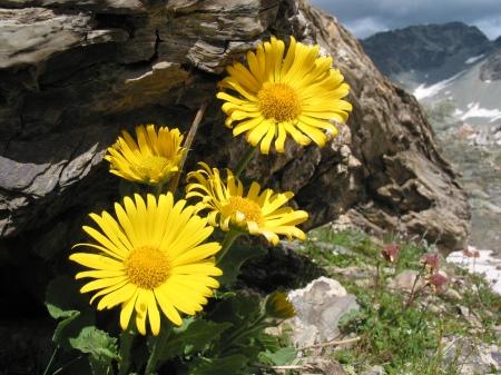 Grossblütige Gemswurz - Biodiversität im Berggebiet