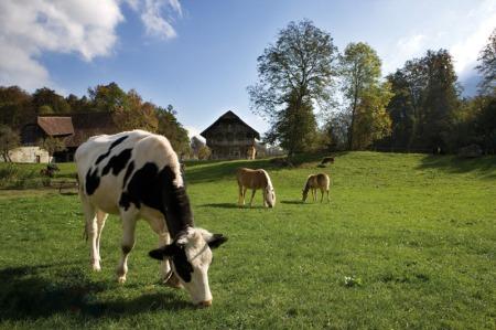 Kühe und Pferde friedlich vereint beim Grasen in der Geländekammer Berner Mittelland