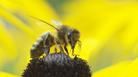 Eine der zahlreichen Bienen auf dem Ballenberg.
