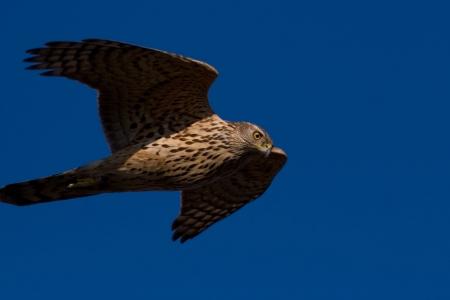 Junge Habichte im Sihlwald lernen fliegen