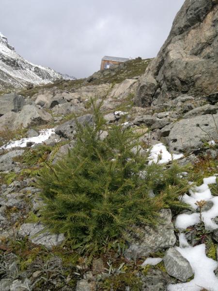 Diese Lärche auf 2590 m Höhe bei der Keschhütte SAC wurde als höchstgelegener Baum im Parc Ela prämiert.