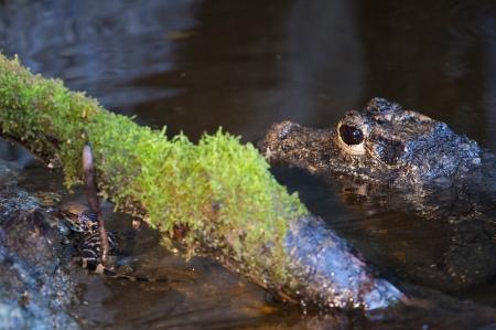 Die jungen Stumpfkrokodile werden von der Mutter auch im Wasser noch bewacht.