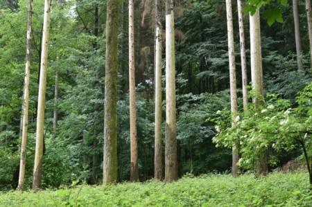Der Borkenkäfer – Ein Puzzleteil im Naturwaldkreislauf