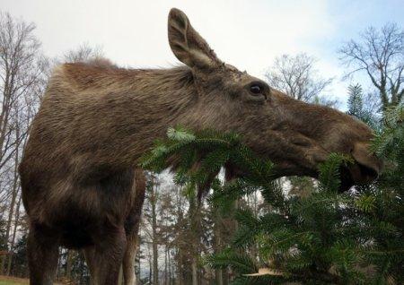 Bildlegende: Die Elche im Langenberg fressen täglich bis zu sechs nicht verkaufte Weihnachts-bäume. (Bild Wildnispark Zürich)